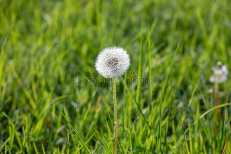 Одуванчик с семенами летания, естественная предпосылка стоковые изображения rf