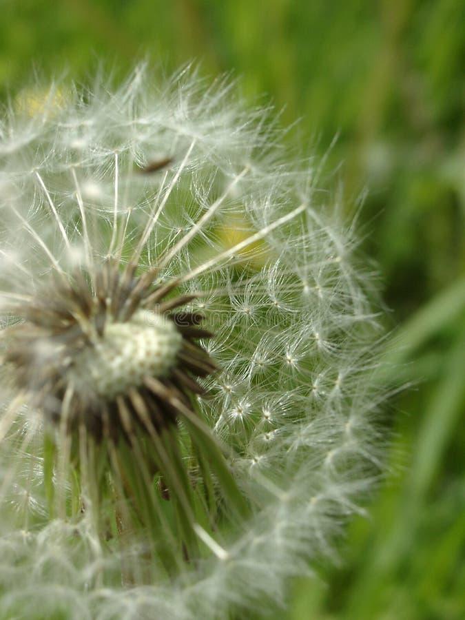 Download одуванчик стоковое изображение. изображение насчитывающей ветер - 1190089