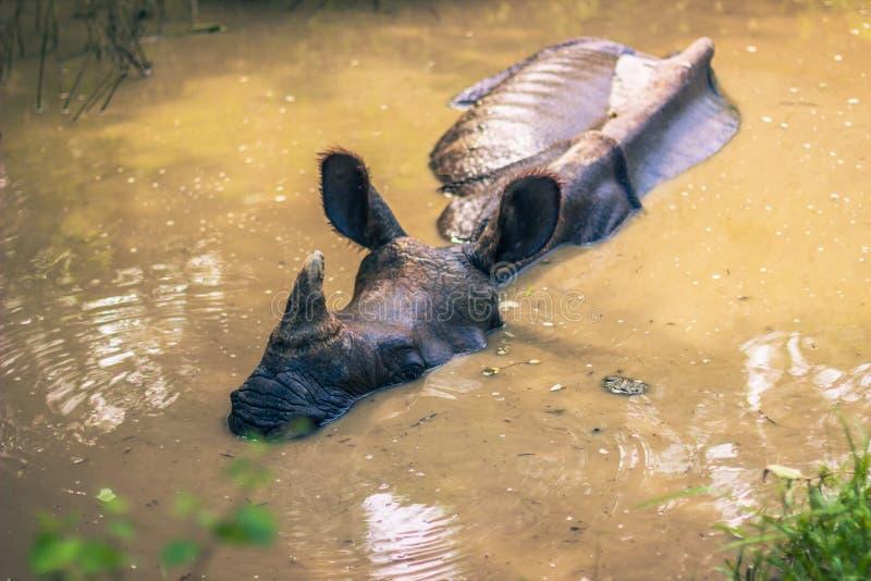 27-ое августа 2014 - индийский носорог купая в национальном парке Chitwan, стоковое фото rf