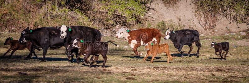 22-ОЕ АПРЕЛЯ 2017, RIDGWAY КОЛОРАДО: Крест Ангуса Hereford, бежать на Centennial ранчо, Ridgway, Колорадо скотоводческое ранчо им стоковая фотография