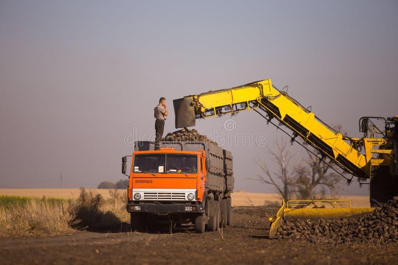 14-ое октября 2014 r kiev Работы молодые кавказские человека во время сбора в поле, нагружая сахарной свекле в тележку, стоковые изображения rf