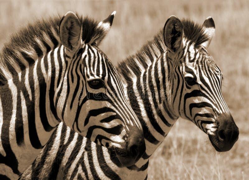 ожеребится зебра стоковые фото