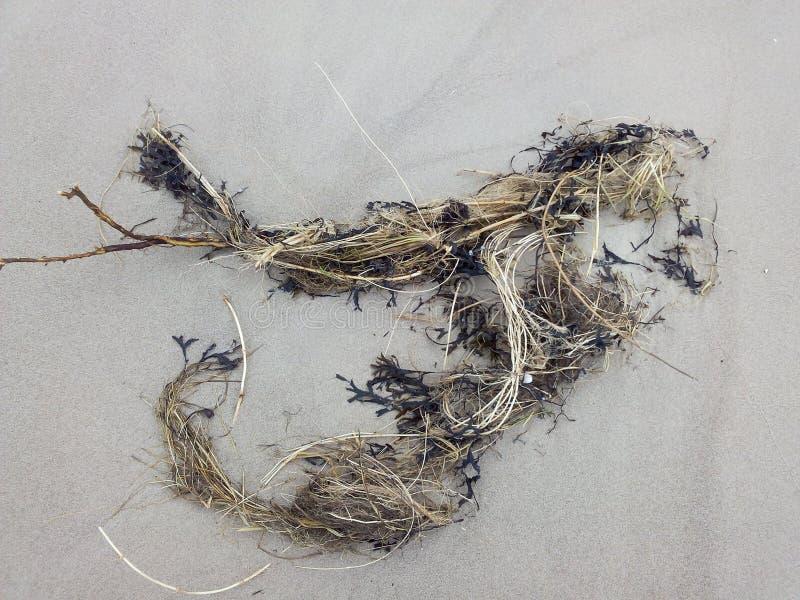 Ожерелье морской водоросли на береге стоковые фото