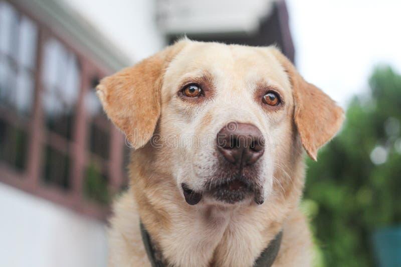 Ожидание собаки retriever Лабрадора для его предпринимателя стоковое изображение