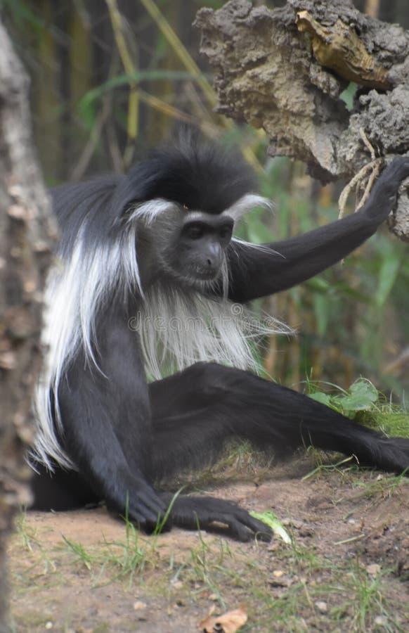 Озадаченная обезьяна Colobus сидя на том основании около дерева стоковое изображение rf