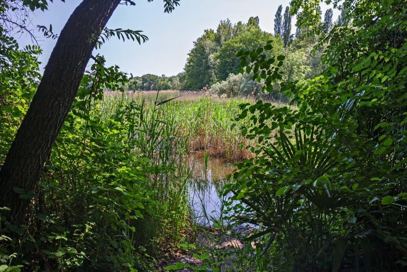 озером между кустами и тростниками стоковые изображения
