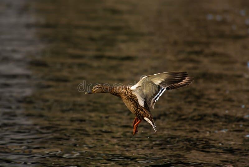 Озеро жизни ключевой воды природы мухы утки стоковые изображения rf