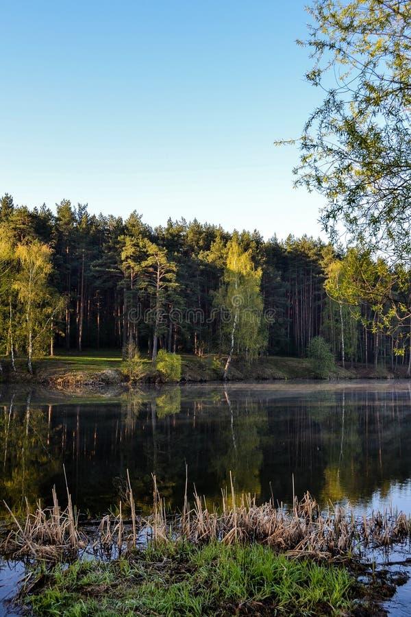 Озеро лес в раннем утре Тростники, спокойная вода и древесина отражены в воде стоковое фото