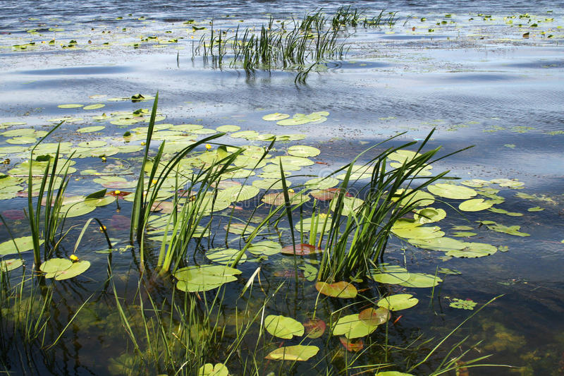 Озеро с лилиями и тростниками воды стоковые фото