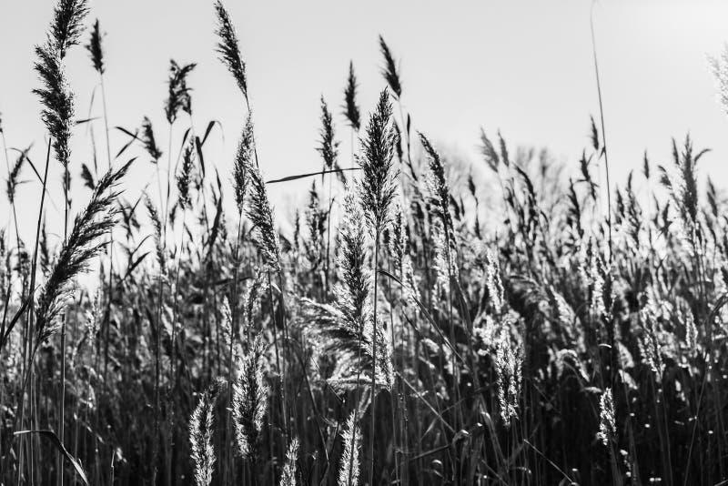 Озеро с тростники на переднем плане стоковое фото rf
