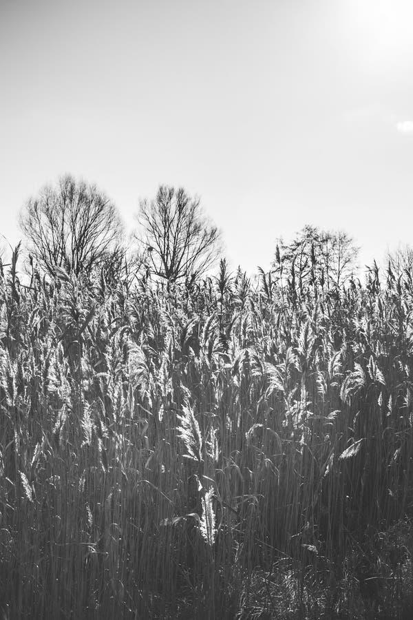 Озеро с тростники на переднем плане стоковые изображения rf
