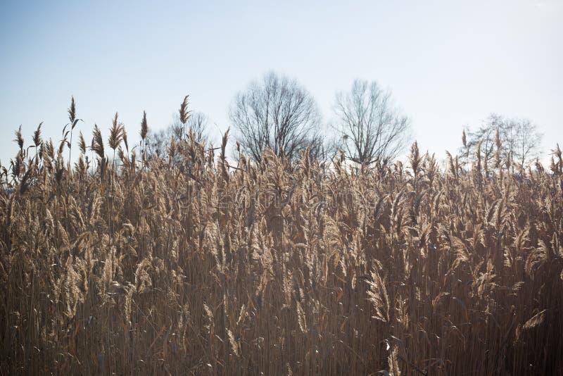 Озеро с тростники на переднем плане стоковые фотографии rf