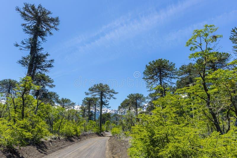озеро 5 7 km conguillio Чили зоны araucania обнаружило местонахождение поверхность зоны s национального парка стоковое изображение rf