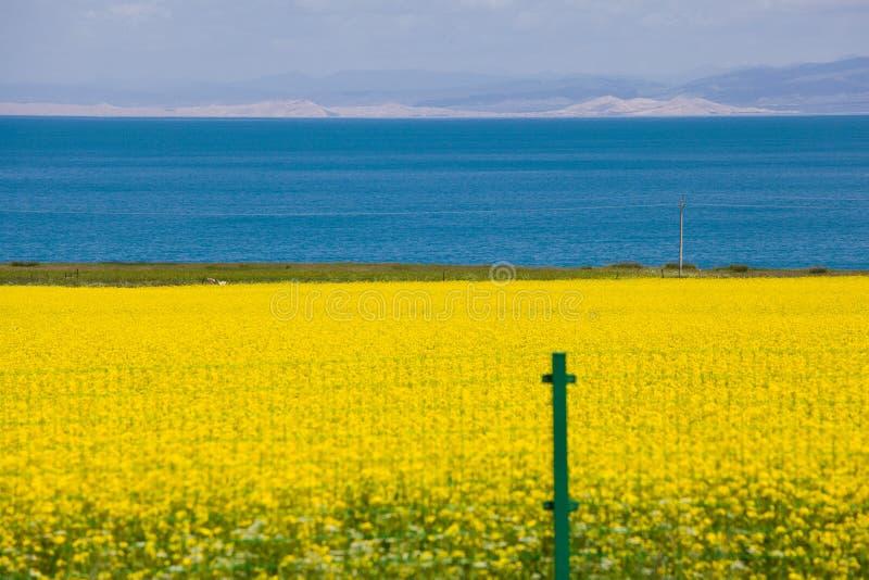 Озеро Qinghai и цветок рапса стоковое изображение rf