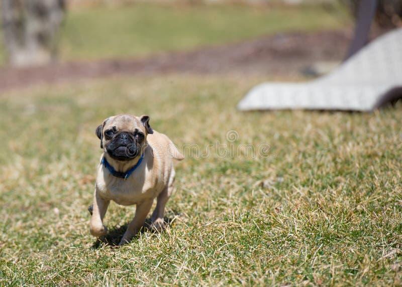 Озорной щенок мопса стоковое изображение rf