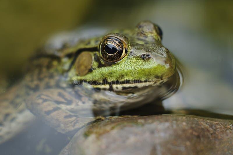 окаимите пруд s лягушки стоковые фото