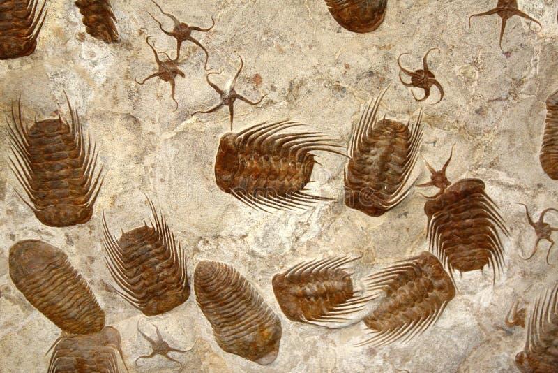 Окаменелые ископаемые морские звёзды и trilobites стоковые фото