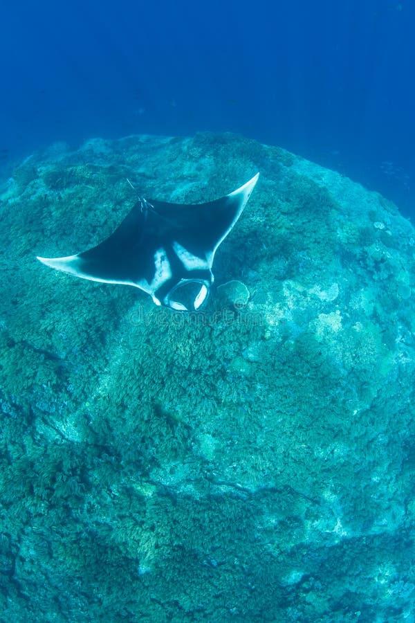 Океанский морской дьявол в радже Ampat стоковая фотография