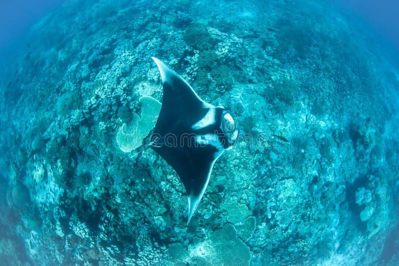 Океанский морской дьявол в радже Ampat стоковые фото