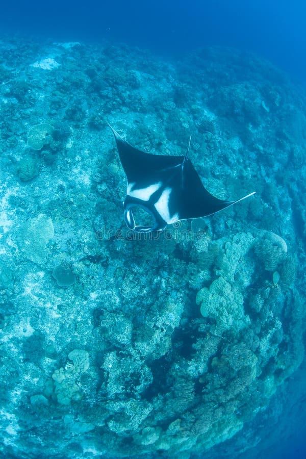 Океанский морской дьявол на башенке рифа стоковые изображения