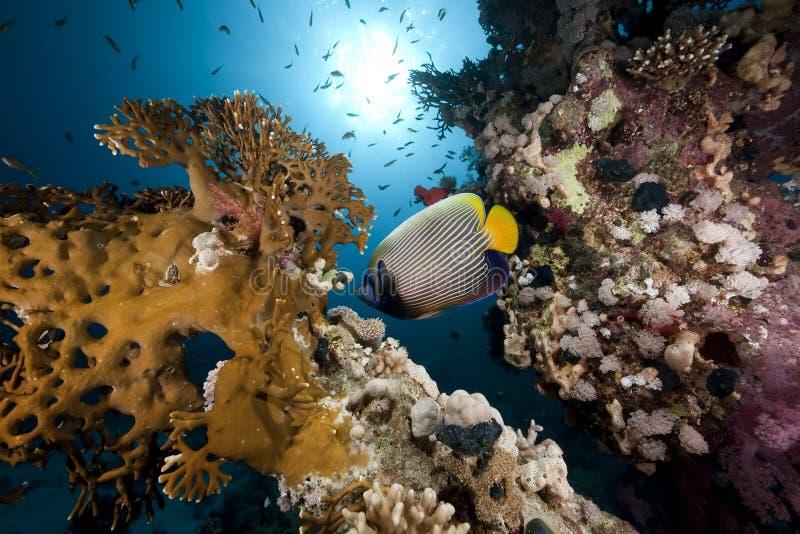 океан императора angelfish стоковые фотографии rf
