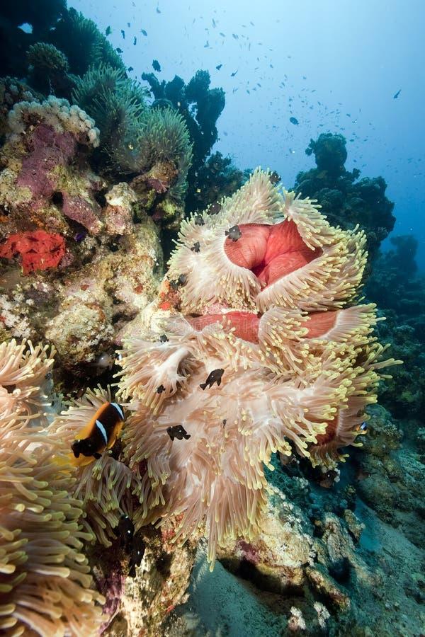 океан коралла ветреницы стоковое изображение rf