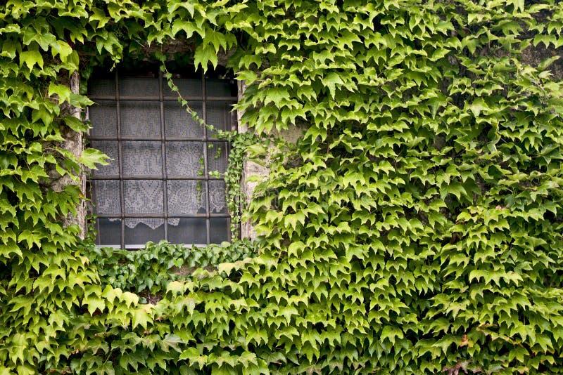 Окно с плющом стоковое фото