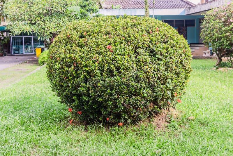 Округлая форма зеленых coniferous кустарников в саде стоковые изображения rf