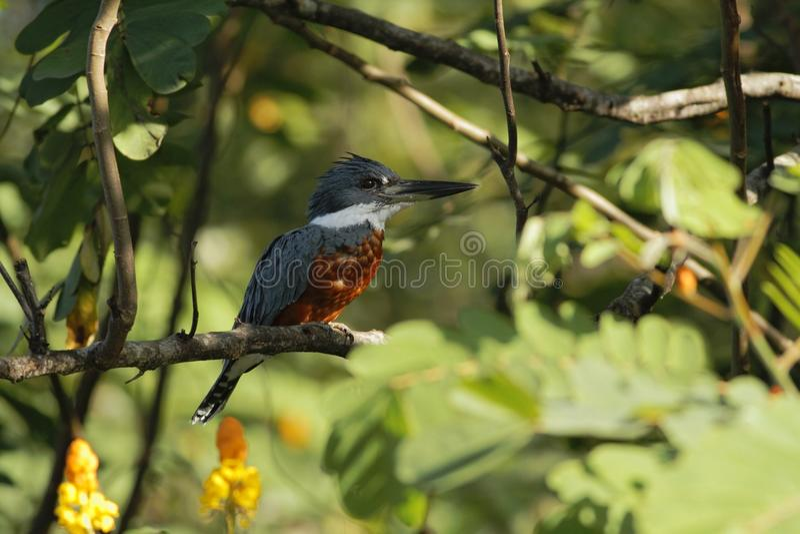 Окруженное torquata Kingfisher, Megaceryle сидя на ветви в своей окружающей среде рядом с рекой, зеленая растительность и желтый  стоковое изображение rf