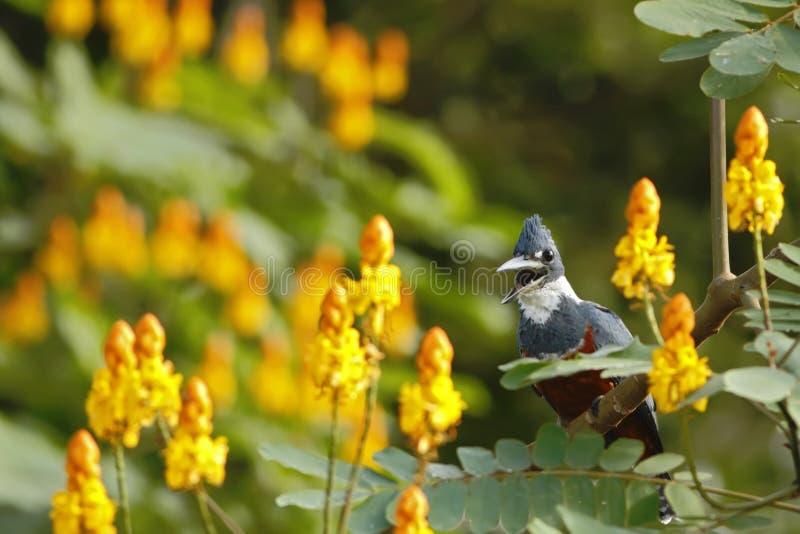 Окруженное torquata Kingfisher, Megaceryle сидя на ветви в своей окружающей среде рядом с рекой, зеленая растительность и желтый  стоковое изображение