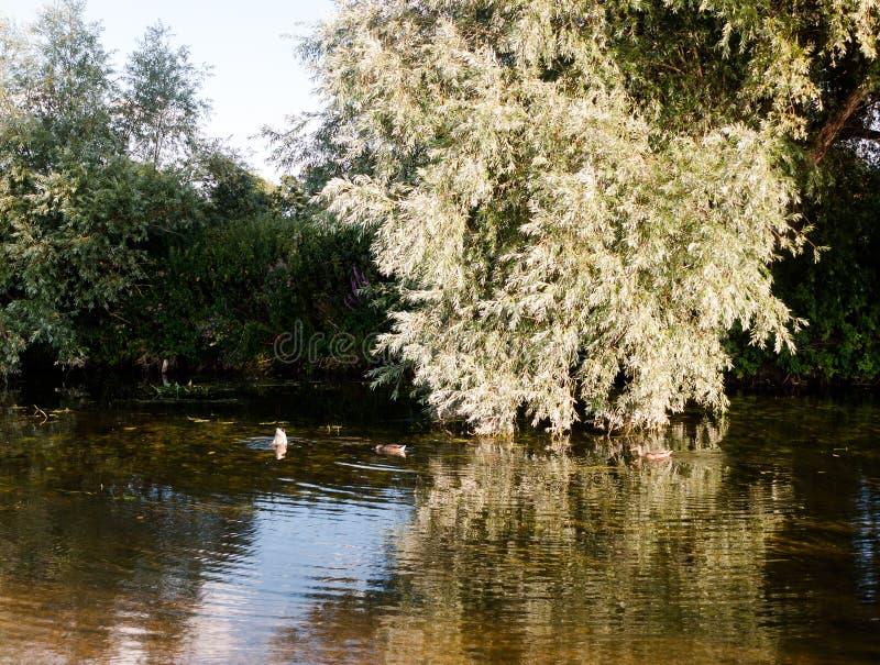 Окунающ крякву ducks в stour реки в подавать dedham стоковое изображение