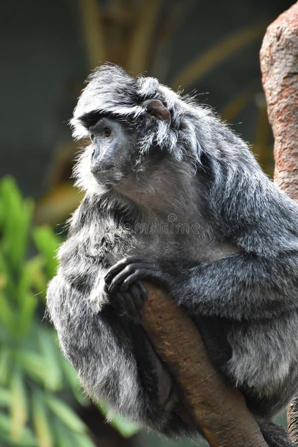 Окунь дерева с милой обезьяной Langur в ей стоковые изображения rf