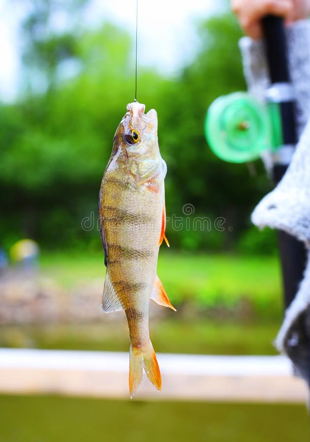 Окунь на рыболовной удочке крюка стоковые фото