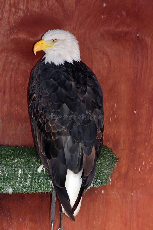 окунь облыселого орла стоковые фото