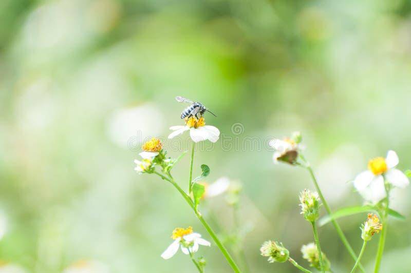 Окунь пчелы дальше стоковые изображения