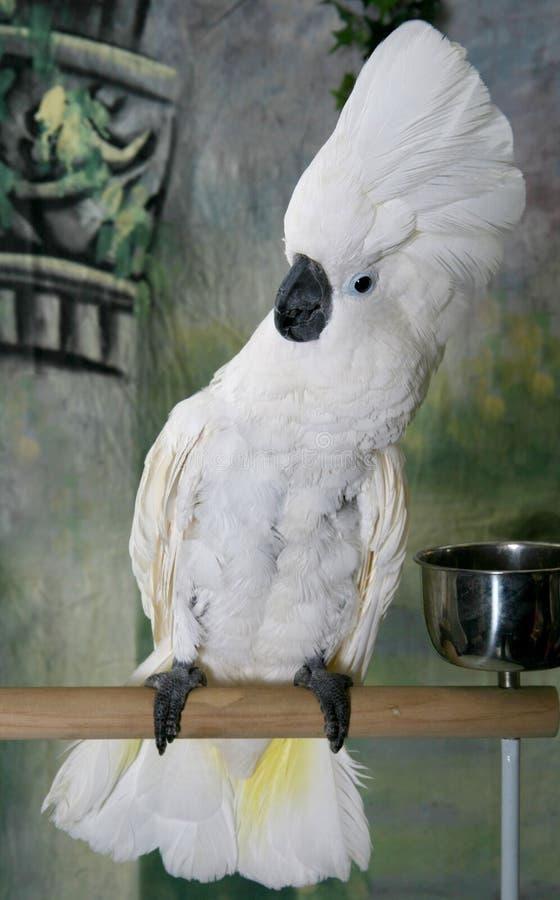 окунь cockatoo стоковые фотографии rf