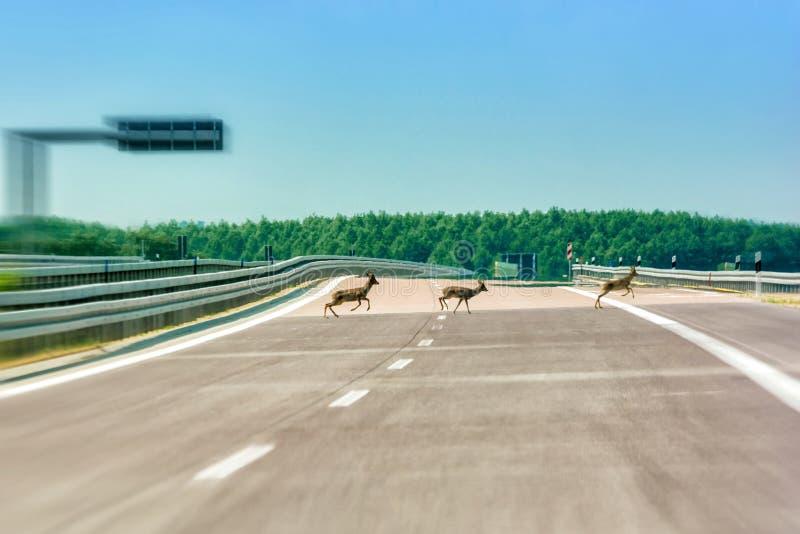 Олени бегут сверх пустое шоссе стоковое фото