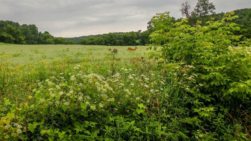 Олени бежать через поле в Висконсине стоковые фото