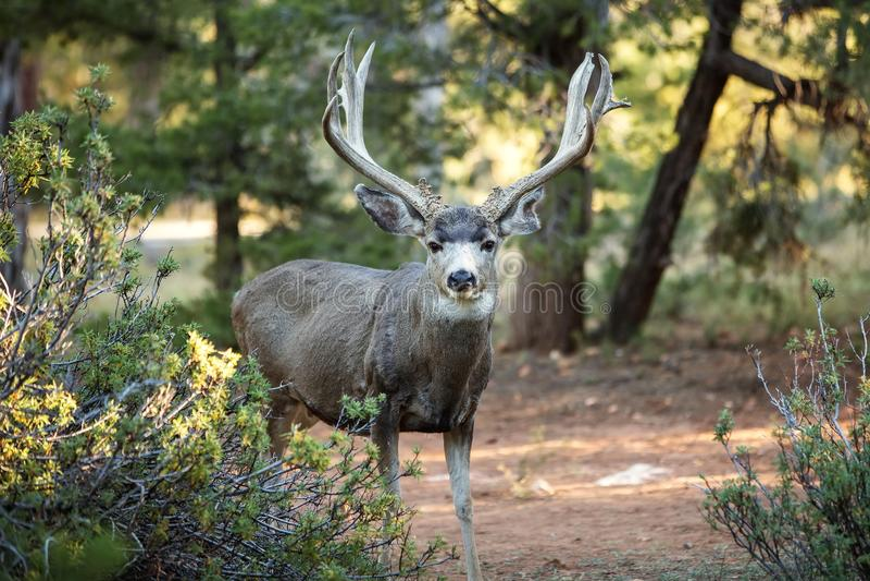 Олени в национальном парке Yosemite стоковое фото rf