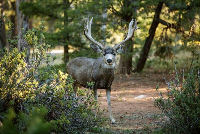 Олени в национальном парке Yosemite стоковые изображения