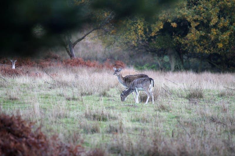 Олени в траве, новый лес Великобритания стоковая фотография rf