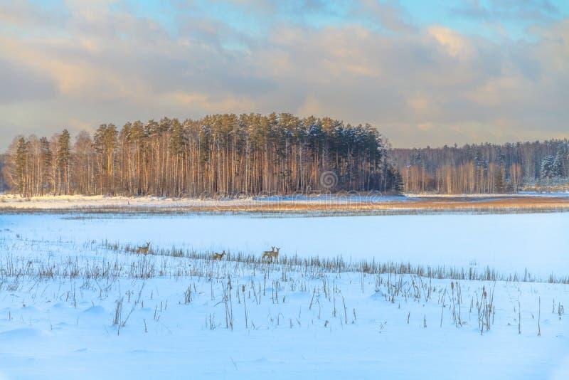 Олени козуль пасут в снежке стоковые фото