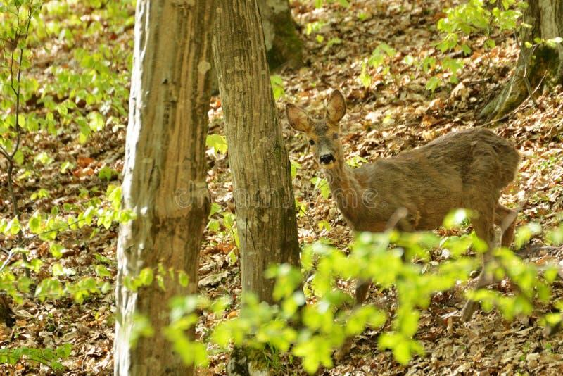 Олени косуль в лесе лета стоковое изображение