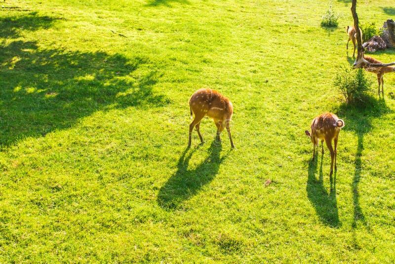 Олени косуль есть свежую траву на луге, взгляд сверху Концепция живой природы, животных, зоопарка и млекопитающих стоковые фото