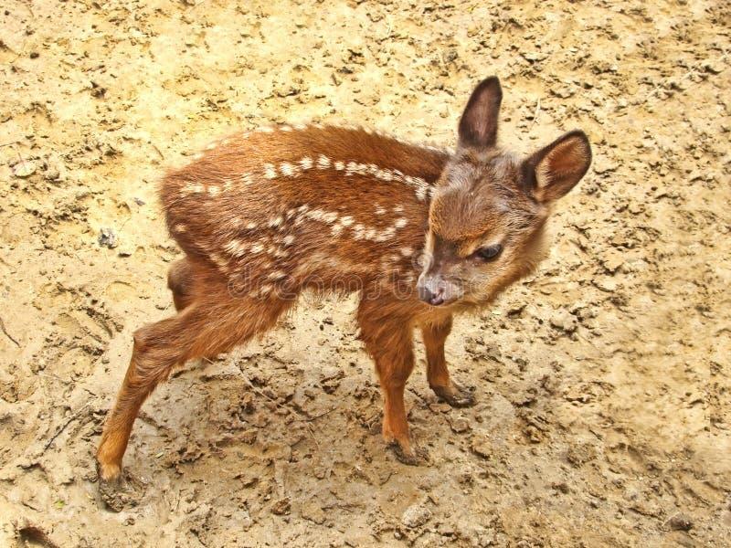олени младенца стоковые фото