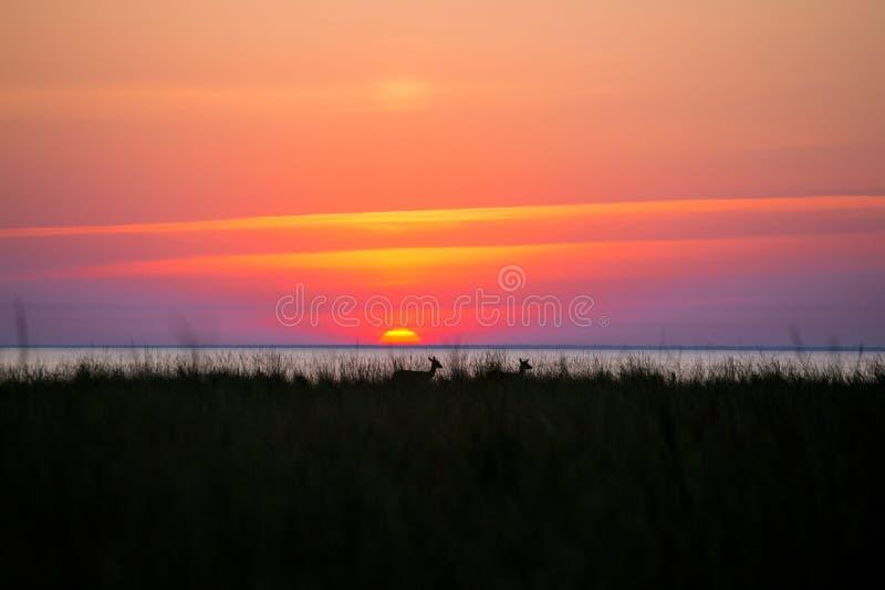 Олени на предпосылке захода солнца стоковое фото rf