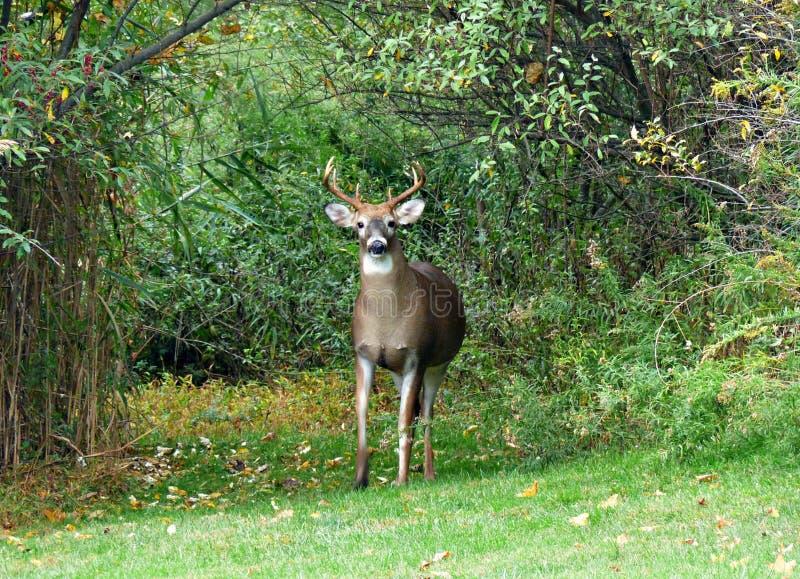 Олени самца оленя в древесинах вытаращить вперед стоковое фото rf