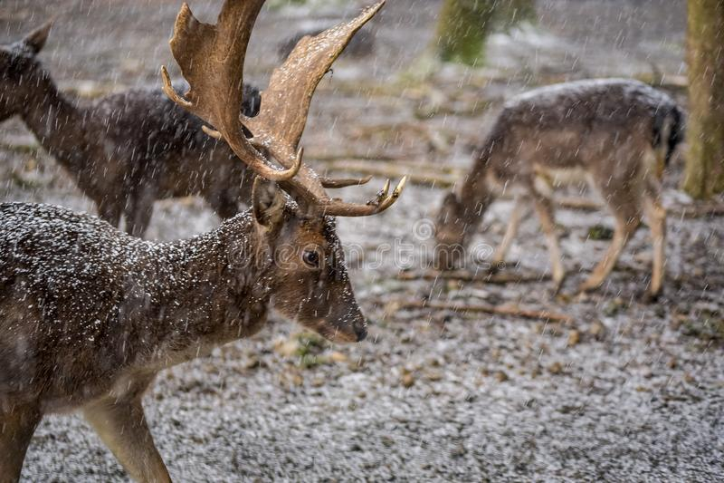 Олени с большим antler в лесе на снежный день стоковые фото