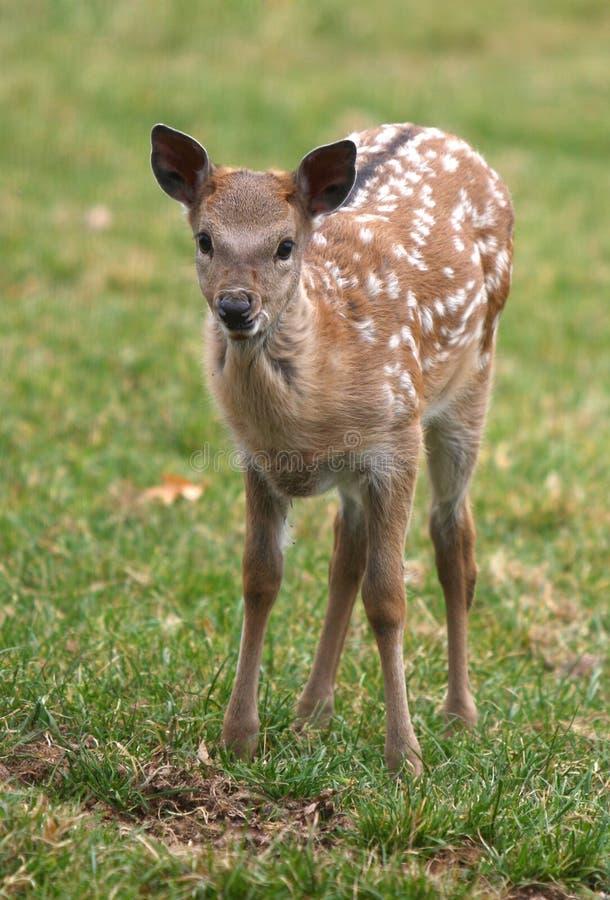 олени bambi стоковая фотография rf