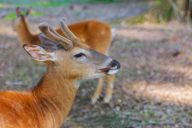 Олени Whitetail заискивают положение в лесе стоковое фото rf